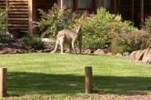 gallery-kangaroo